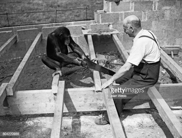 Mary the chimpanzee helps George Mottershead build a new lion enclosure at Chester Zoo in UptonbyChester Cheshire UK 21st August 1937 Mottershead...