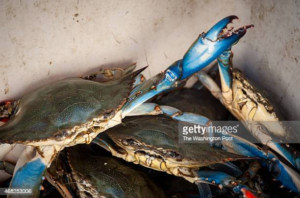 ISLAND MD 10/4/13 Maryland Blue Crabs are what trotlining is all about About a mile of line is laid on the sea bottom with chicken bones baited every...