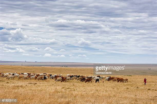 masaai herdsman grazing his cattle - livestock stock pictures, royalty-free photos & images