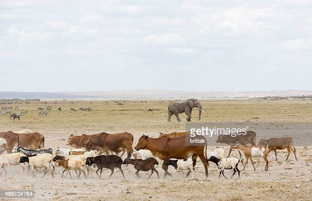 Masai cattle and wild life in Amboseli National park.