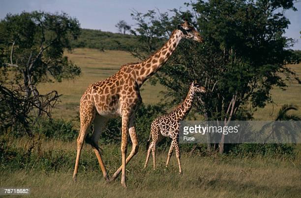 Masai Giraffe and Calf Walking