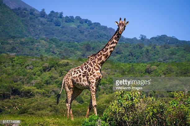 Masai Giraffe, Arusha National Park, Tanzania
