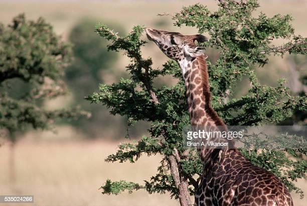 A Masai Giraffe Eating Acacia Thorns