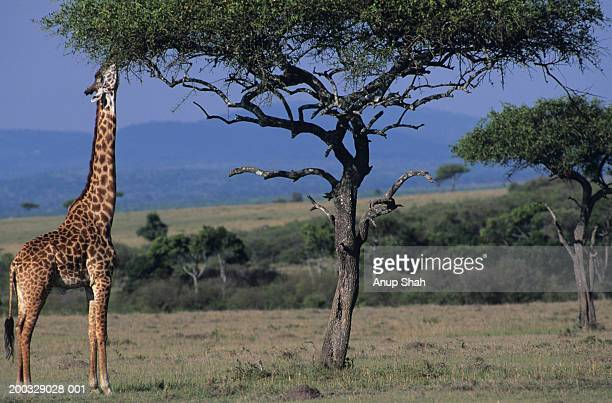 Masai giraffe (Giraffa camelopardalis) eating leaves, Kenya