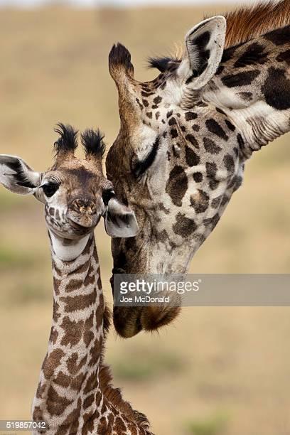 Masai Giraffe, Giraffa camelopardalis tippelskirchi, Lower Masai Mara, Kenya, mother and baby nuzzling