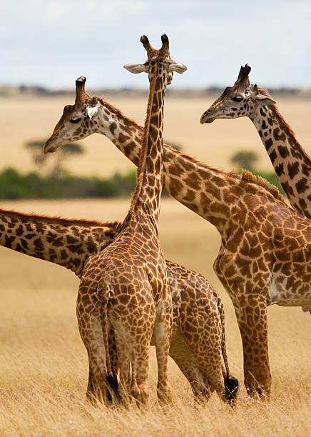 Masai Giraffe graze on Masai Mara, Kenya .