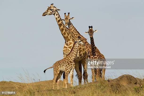 Masai giraffe herd on hill in the Masai Mara Game Reserve