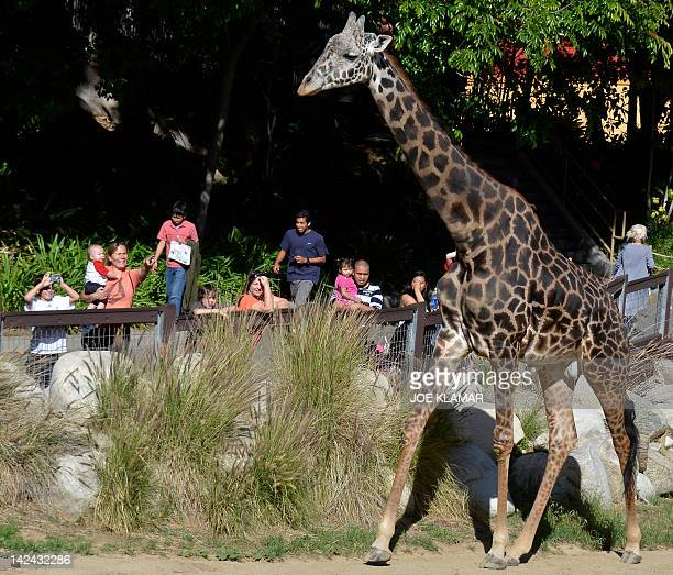 A Masai giraffe is admired by tourists at the Los Angeles Zoo and Botanical Garden in Los Angeles on April 04 2012 AFP PHOTO / JOE KLAMAR