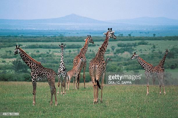 Masai giraffe, Maasai Giraffe or Kilimanjaro Giraffe , Giraffidae, Masai Mara National Reserve, Kenya.