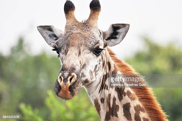 Masai Giraffe, Nairobi National Park