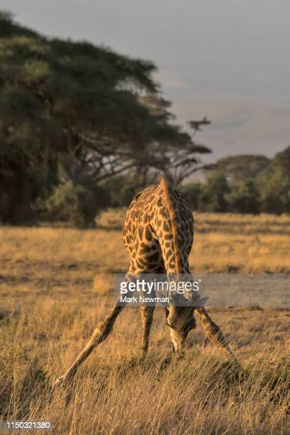 masai giraffe - kenya newman stock pictures, royalty-free photos & images