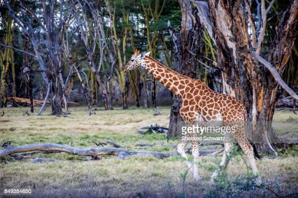 a masai giraffe - lake nakuru stock photos and pictures