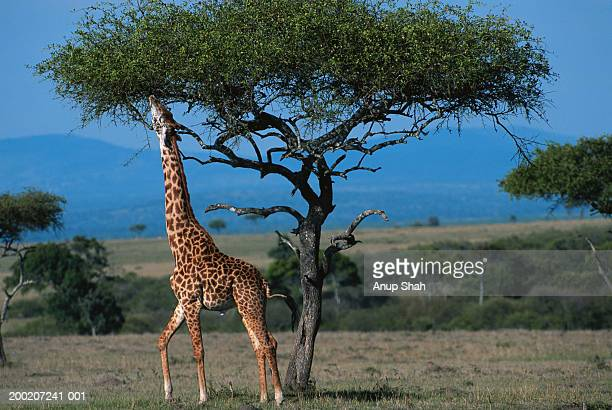 Masai giraffe (Giraffa camelopardalis tippleskirchi) reaching out to eat leaves, Masai Mara N.R, Kenya