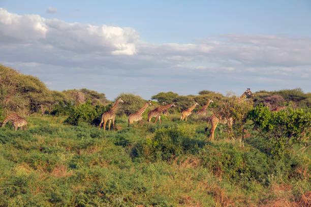 Masai giraffes (Giraffa tippelskirchi) in the graze in the forest