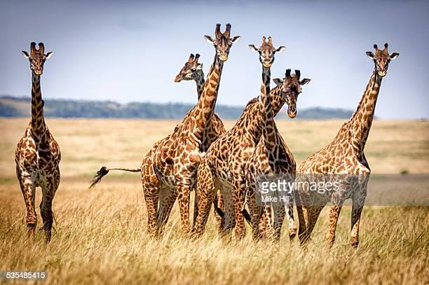 Masai giraffes on savannah grasslands
