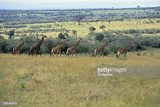 Masai Giraffes walking along acacia trees in savanna, Masai Mara, Kenya
