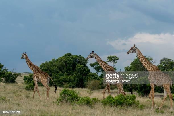 Masai giraffes walking in the Masai Mara National Reserve in Kenya