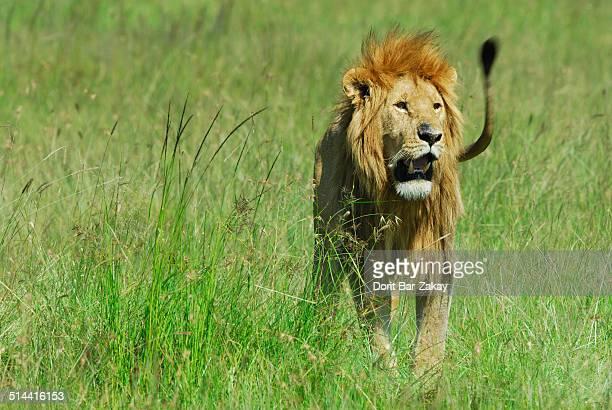 Masai Lion (Panthera Leo) - male