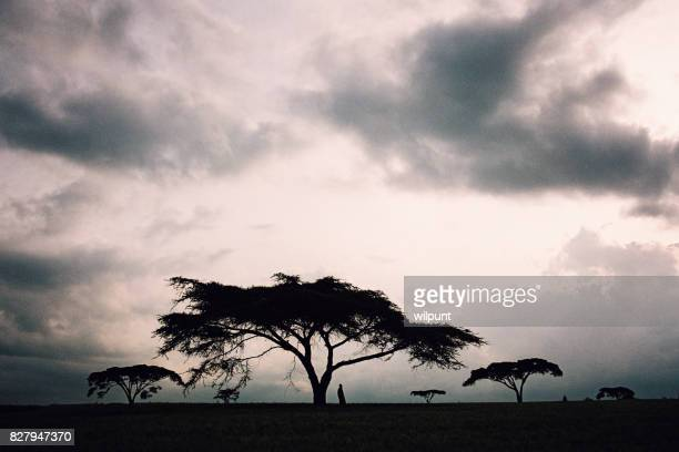 Masai man standing under an Acacia Tree silhouette with sky