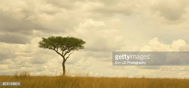 masai mara landscape - single tree stock pictures, royalty-free photos & images