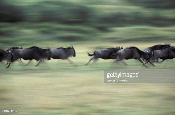 a herd of wildebeest stampede across the savannah during migration. - stampeding stock pictures, royalty-free photos & images