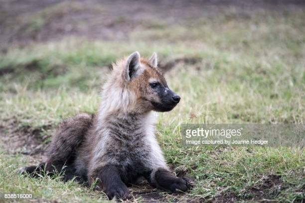 masai mara nature reserve - spotted hyena stock pictures, royalty-free photos & images