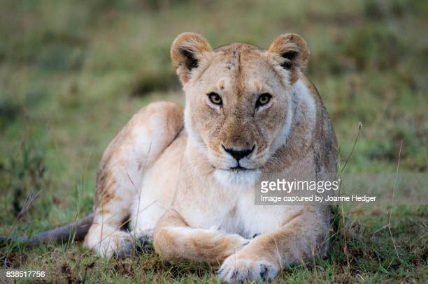 masai mara nature reserve - lioness stock pictures, royalty-free photos & images