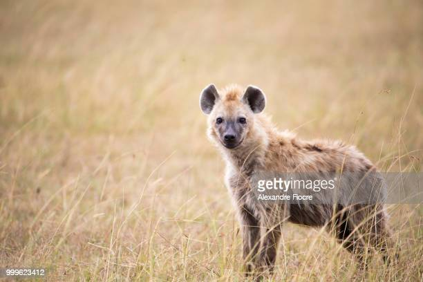 masai mara - wild dog stock pictures, royalty-free photos & images