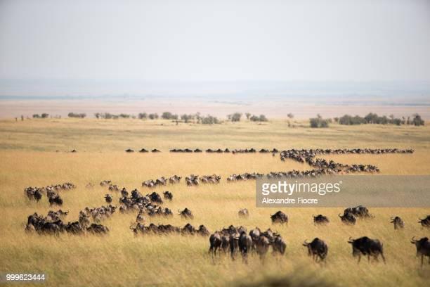masai mara - safari animals stock photos and pictures