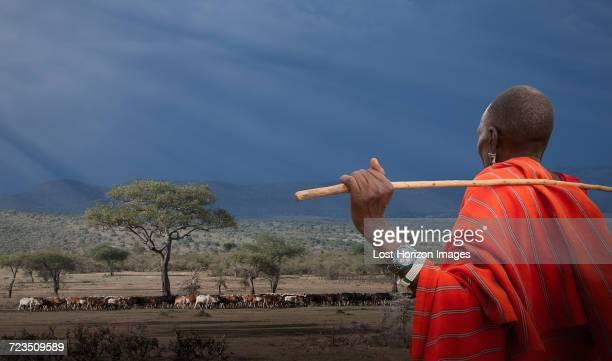 Masai shepherd watching his cows, Masai Mara National Reserve, Kenya