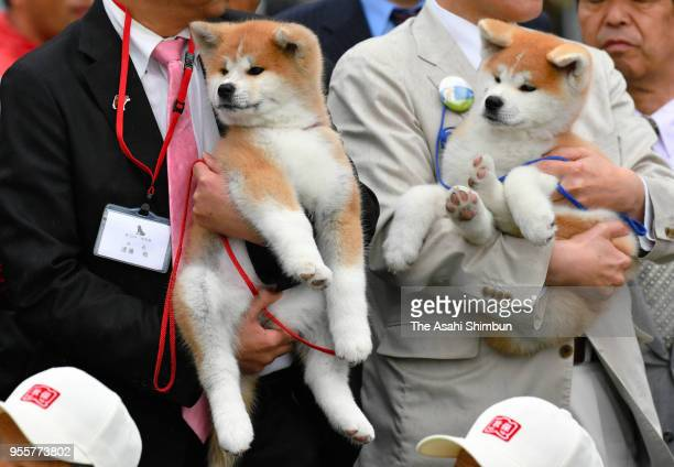 Masaru a female Akita Inu dog to be given to figure skating champion Alina Zagitova of Russia is shown to the public with her brother Shodai at an...