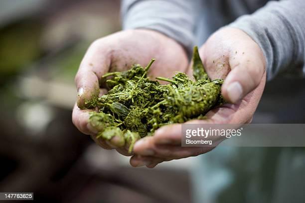 Masato Minawa collects samples of freshly gathered steamed tea leaves at Clean Tea Matsuno a tea processing facility in Shizuoka City Shizuoka...