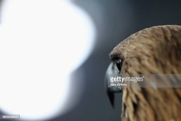 Mascot eagle Attila of Frankfurt looks on prior to the Bundesliga match between Eintracht Frankfurt and Werder Bremen at CommerzbankArena on April 7...