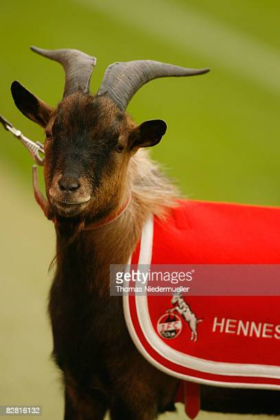 A mascot goat is seen prior to the Bundesliga match between 1 FC Koeln and Bayern Muenchen at the RheinEnergie stadium on September 13 2008 in...