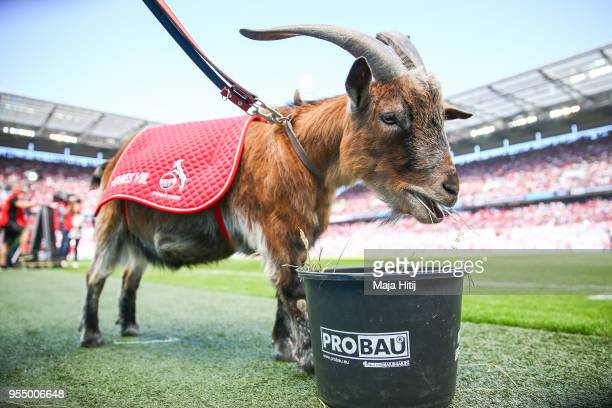 Mascot Hennes of 1.FC Koeln prior the Bundesliga match between 1. FC Koeln and FC Bayern Muenchen at RheinEnergieStadion on May 5, 2018 in Cologne,...