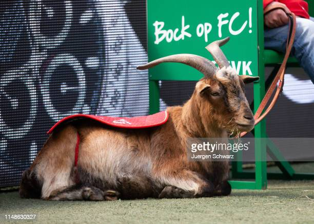 Mascot Hennes of Cologne sits beside the pitch during the Second Bundesliga match between 1. FC Koeln and SSV Jahn Regensburg at RheinEnergieStadion...