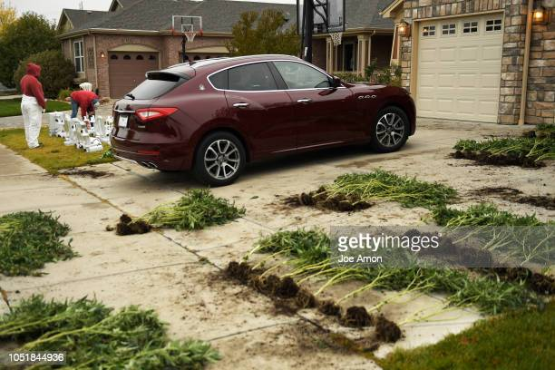 Maserati SUV in the middle of marijuana plants and lights DEA agents laid out to photograph and video for evidence during coordinated raids on...