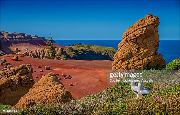 masked boobies on phillip island - rookery stock pictures, royalty-free photos & images