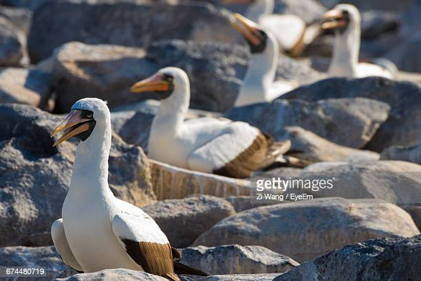 Masked Booby Birds On Rocks In Galapagos Islands