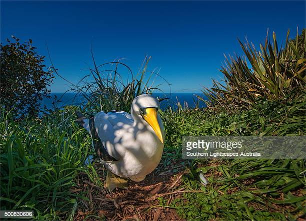 Masked Booby nesting on Phillip Island, just off the coastline of Norfolk Island.