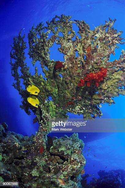masked butterflyfish, chaetodon semilarvatus, under table coral, fury shoal, red sea, egypt - the webster stock pictures, royalty-free photos & images
