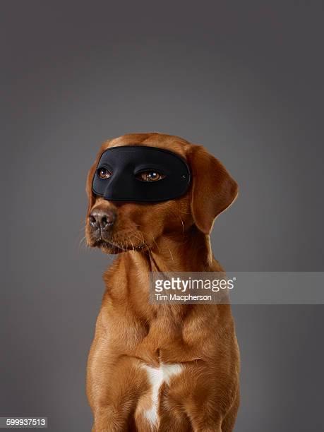 masked dog - dog mask stock pictures, royalty-free photos & images