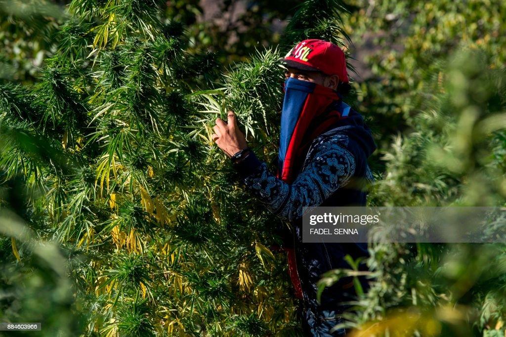 MOROCCO-TOURISM-DRUGS-CANNABIS : News Photo