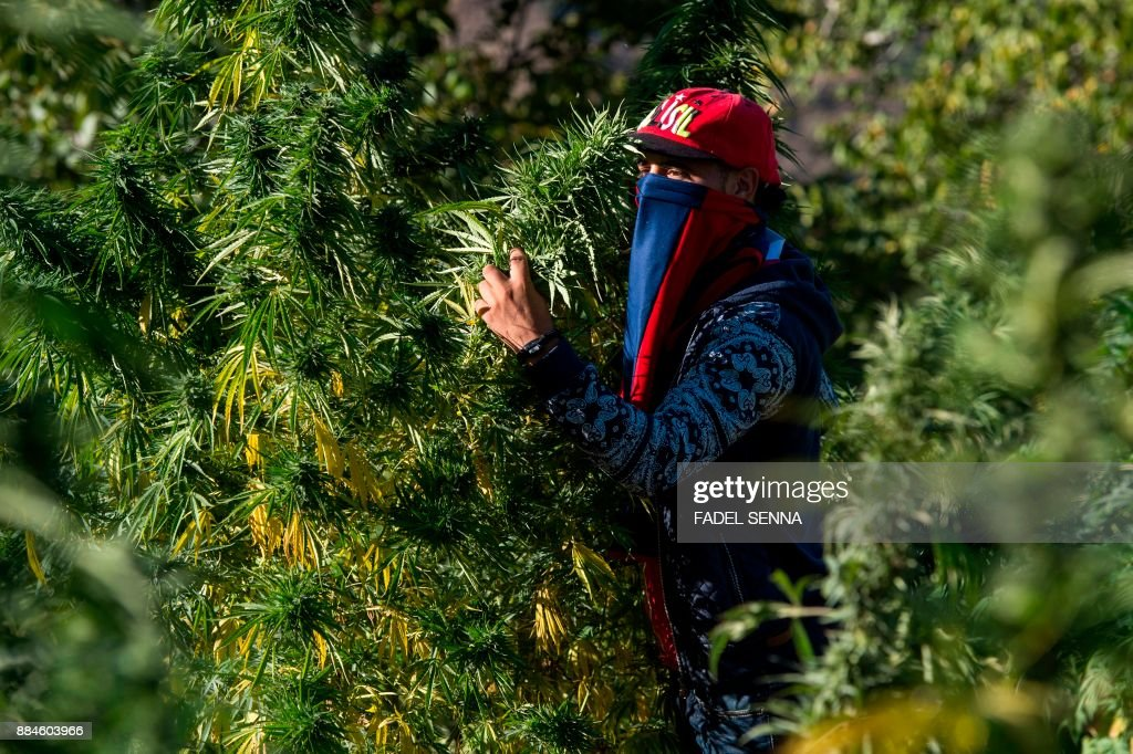 A masked farmer holds on to branches of cannabis in a field near the town of Ketama in Morocco's northern Rif region on September 13, 2017. - Moroccan law bans the sale and consumption of the drug. But that hasn't stopped farmers in Ketama growing vast plantations of it, providing a living to some 90,000 households. Northern Morocco, a key production centre for hashish headed for Europe, has also seen an influx of European visitors eager to sample the region's weed.