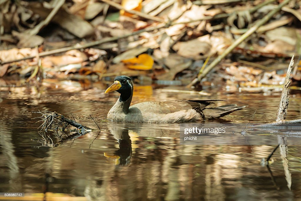 Masked Finfoot bird [Heliopais personatus] : Stock Photo