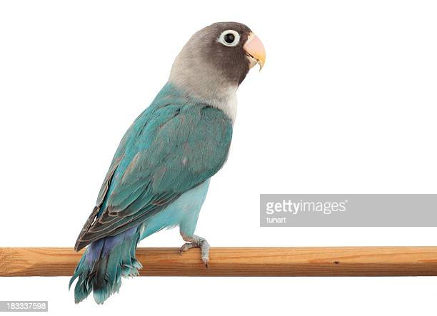 Ocultos Lovebird na cor azul mutação