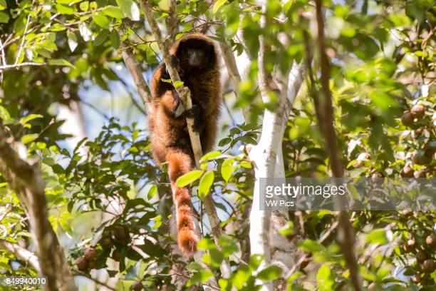 Masked titi monkey , photographed in Domingos Martins, EspÍrito Santo - Brazil. Atlantic forest Biome. Wild animal.
