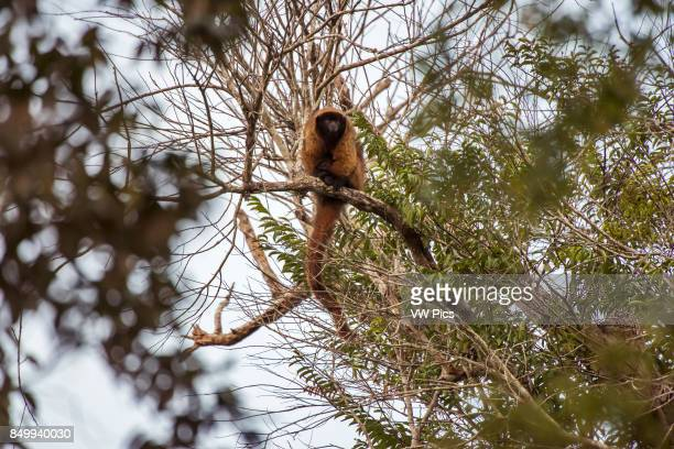 Masked titi monkey , photographed in Linhares/Sooretama, EspÍrito Santo - Brazil. Atlantic forest Biome. Wild animal.