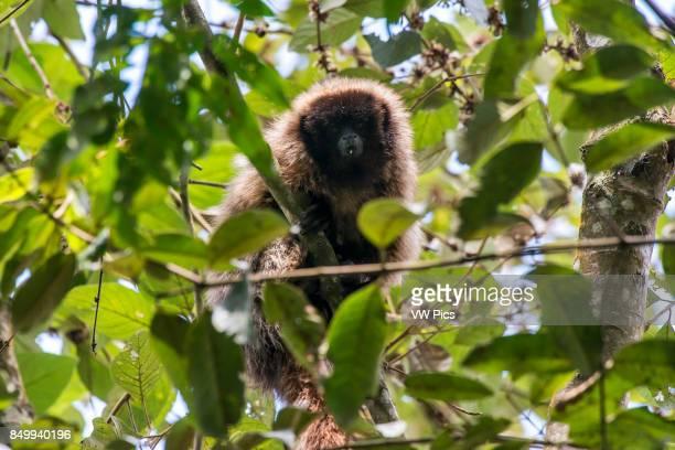 Masked titi monkey , photographed in Santa Maria de Jetibˆ, EspÍrito Santo - Brazil. Atlantic forest Biome. Wild animal.