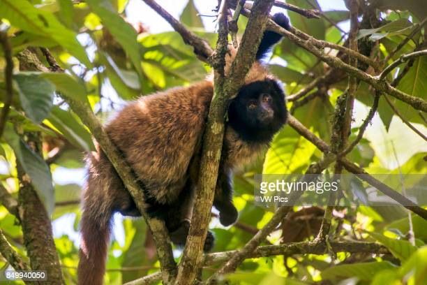 Masked titi monkey , photographed in Santa Teresa, EspÍrito Santo - Brazil. Atlantic forest Biome. Wild animal.